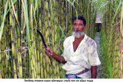হরিনাকুন্ডুর এলাকায় জনপ্রিয় লাভজনক চাষ এখন গেন্ডারি আখ