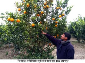 Jhenaidah Orange Pic (2)