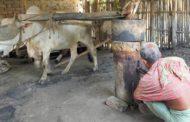 ঝিনাইদহের মহেশপুরের আজও চলমান রয়েছে ঐতিহ্যবাহি ঘানি ভাঙা শিল্প