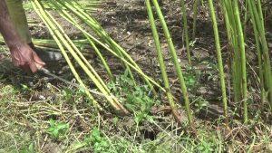 Jhenidah jute cultivion Photo 18-08-20 (3)